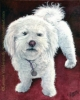 Custom Dog Portrait white bichon frise india ink painting Max