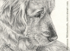 Custom golden retriever dog portrait pencil graphite drawing art by Leanne Wildermuth