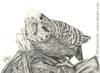 Custom bird budgie parakeet portrait pencil graphite drawing art by Leanne Wildermuth