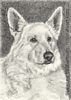 Custom dog portrait white german shepherd pencil graphite drawing art by Leanne Wildermuth