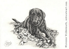 Dog portrait black Labrador retriever pencil graphite drawing art by Leanne Wildermuth