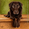 custom dog portrait chocolate lab oil painting art by Leanne Wildermuth