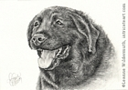 custom dog portrait black Labrador retriever pencil graphite drawing art by Leanne Wildermuth