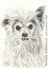 custom dog portrait Chinese Crested Powderpuff pencil graphite drawing art by Leanne Wildermuth