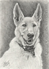 custom dog portrait German Shepherd pencil graphite drawing art by Leanne Wildermuth