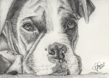 custom boxer dog portrait graphite drawing art by Leanne Wildermuth