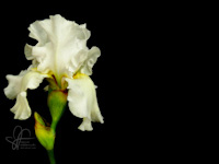 White iris flower photo desktop wallpaper by Leanne Wildermuth
