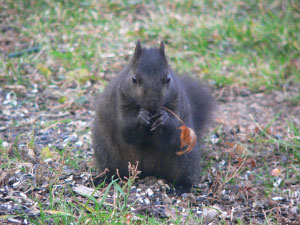 black squirrel photograph