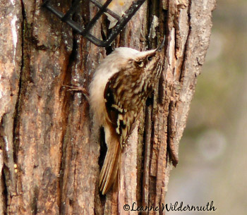 brown creeper illinois nuthatch look brown spotted speckled back