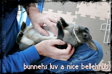 mini rex bunny opal gray belly rub' class=