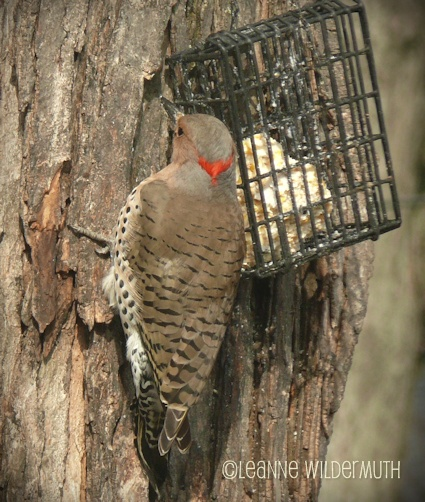northern flicker large tree climber' class=
