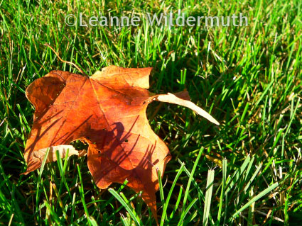 maple leaf fall photograph