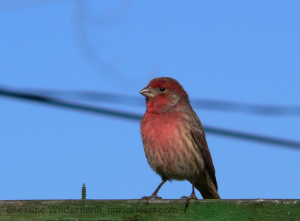 house finch photoraphy november