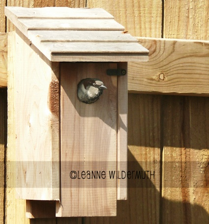 male house sparrow nesting birdhouse' class=