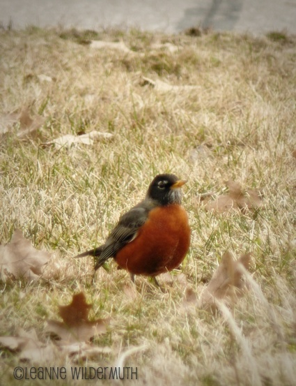 red breasted american robin spring bird' class=