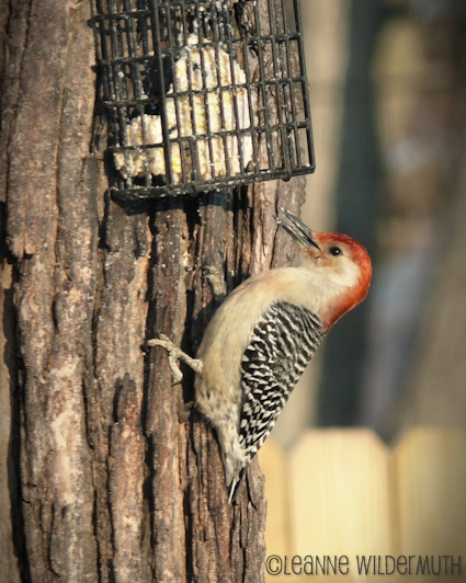 red bellied woodpecker' class=