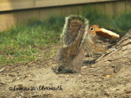 squirrel carrying whole piece of bread