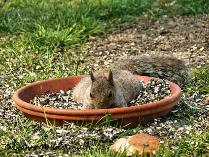 squirrel lying in the food