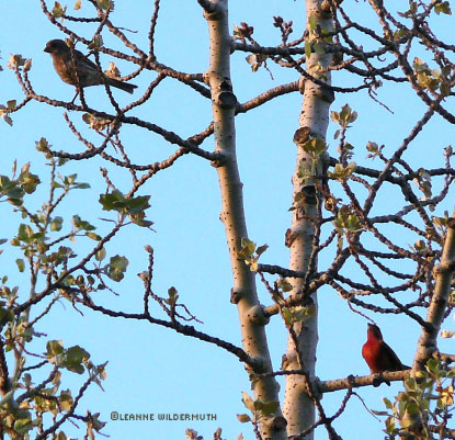birdwatching tanager couple mating' class=