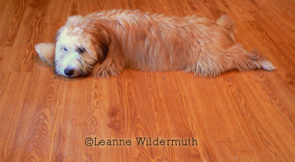 soft coated wheaten terrier tucker