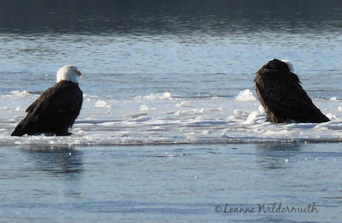 pair of eagles sitting on ice Mississippi  river' title=