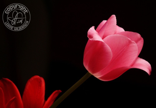 tulip floral flower photograph leanne wildermuth' class=