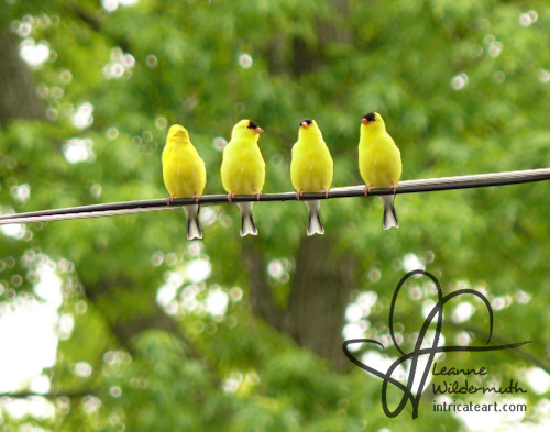 four male goldfinches on a line by Leanne Wildermuth