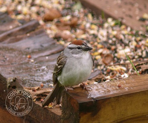 chipping sparrow bird photo leanne wildermuth