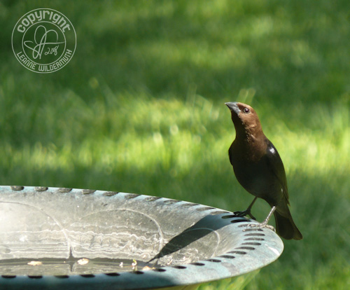 male cowbird drinking photo leanne wildermuth