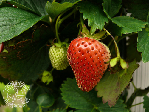 strawberry ripe photo leanne wildermuth