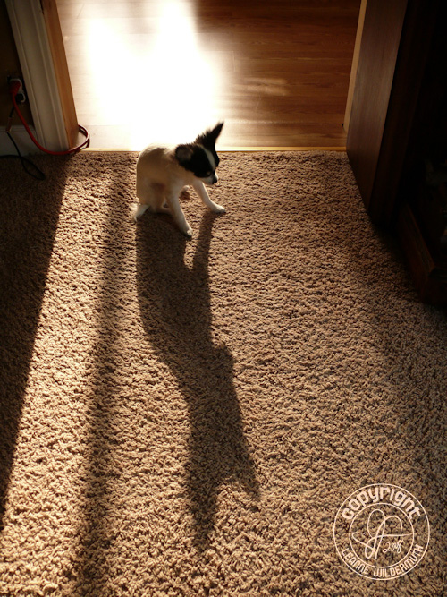 chiapoo puppy reflection shadow photo leanne wildermuth