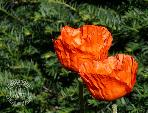 giant red poppies