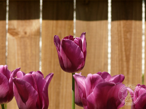 purple tulips flower photo leanne wildermuth
