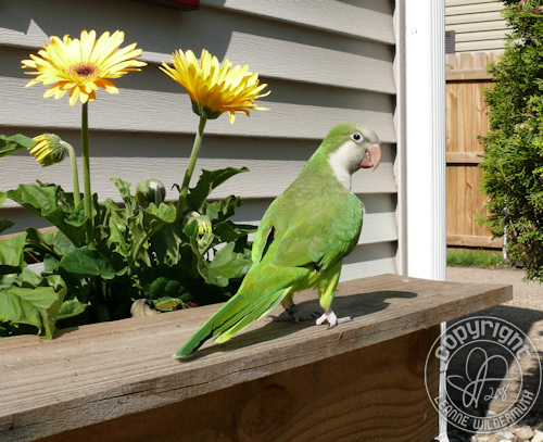 quaker parrot walking by daisies leanne wildermuth