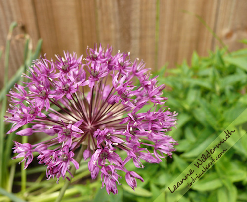Allium flower photo Leanne Wildermuth