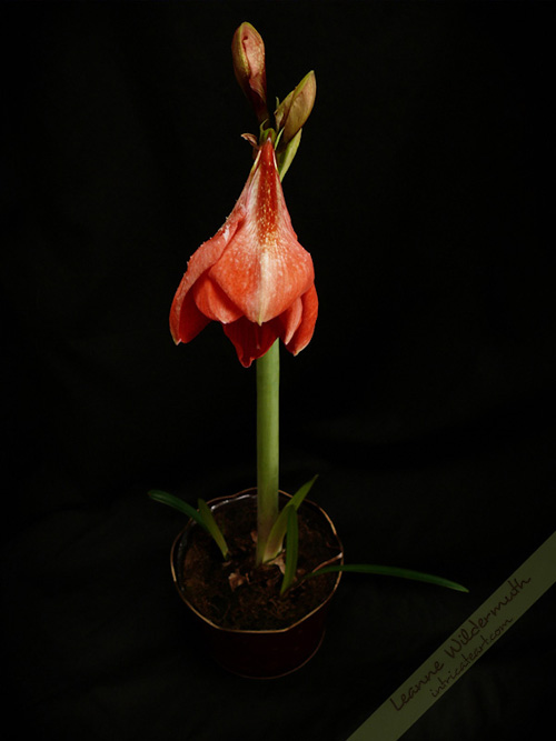 Amaryllis in bloom photo by Leanne Wildermuth