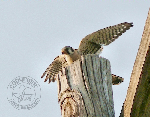 american kestrel perched photo leanne wildermuth