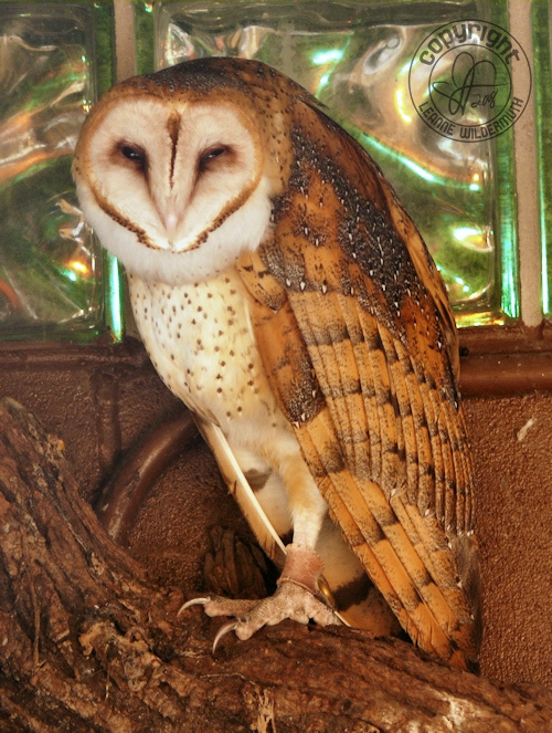 barn owl trance sleepy leanne wildermuth