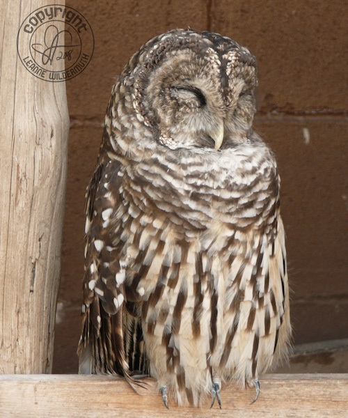 barred owl poof bird sleeping leanne wildermuth