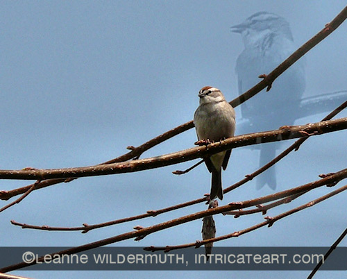 chipping sparrow perched and singing overlay photo leanne wildermuth' class=