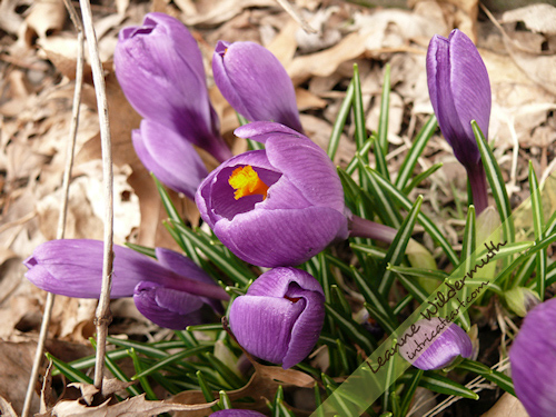 crocus spring 2009 photo by Leanne Wildermuth