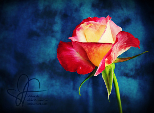 High definition double delight rose photo by Leanne Wildermuth