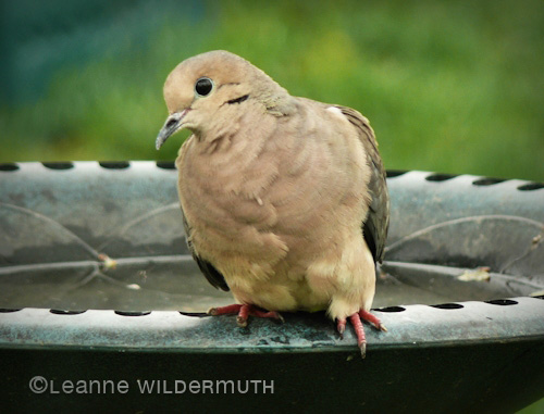 curious mourning dove copyright leanne wildermuth' class=