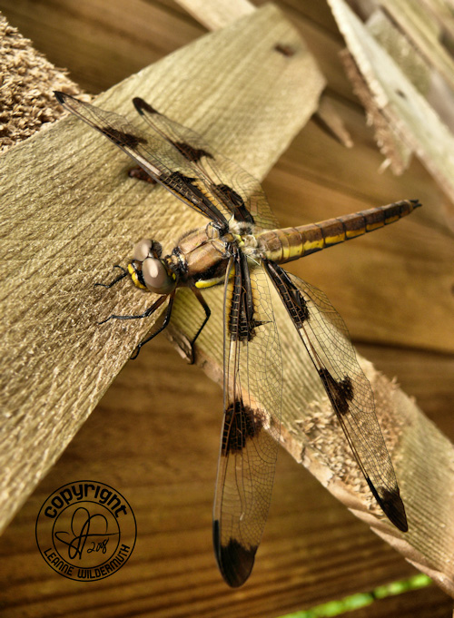 dragonfly macro leanne wildermuth