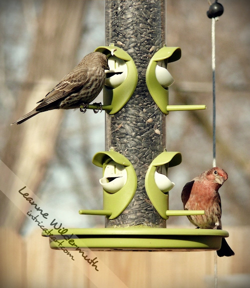 House finch couple photo by Leanne Wildermuth