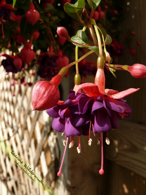 fuchsia plant photo by Leanne Wildermuth