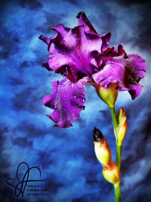 High definition german bearded iris photo by Leanne Wildermuth