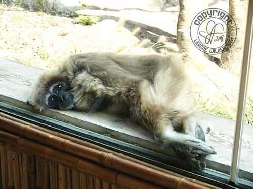gibbon monkey relaxing leanne wildermuth