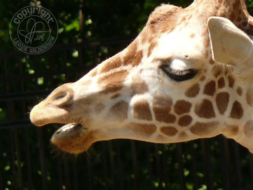 giraffe close up photo leanne wildermuth