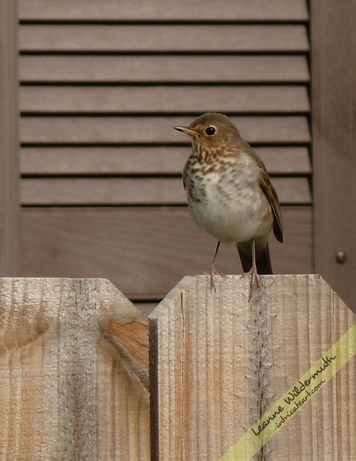 Hermit Thrush bird photography by Leanne Wildermuth